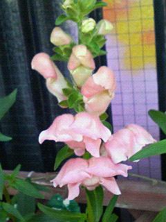 ピンクの金魚草♪
