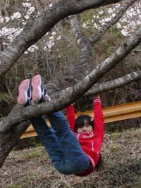 桜の木にぶら下がる まなこ♪