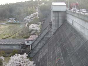 ダムと桜♪