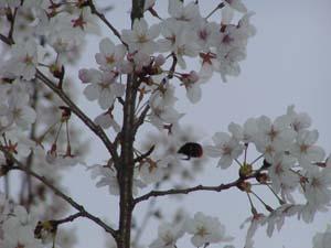 桜の花の周りを飛ぶ蜂