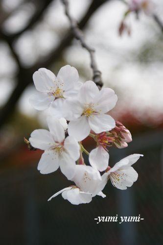 さくら・桜2