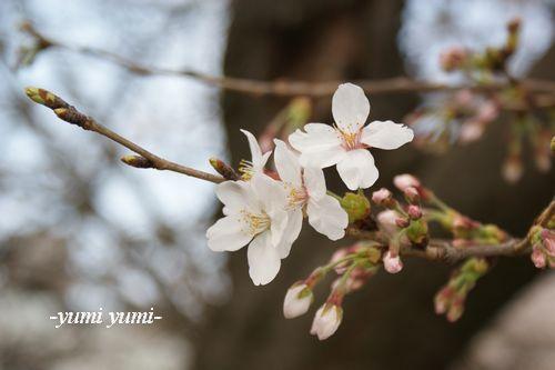 さくら・桜4