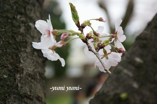 さくら・桜6