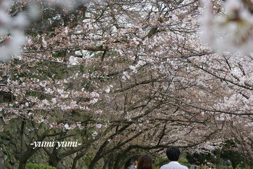 さくら・桜7