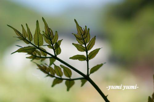 たらの芽1