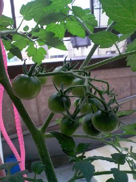 トマト5・31
