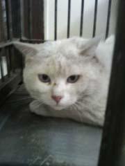 白猫ブルー