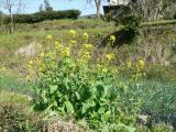 発見 菜の花