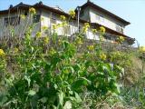 柚子(ゆず)画像 菜の花