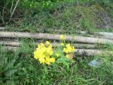 柚子(ゆず)画像 菜の花3
