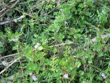 柚子(ゆず)画像 花7