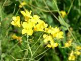 菜の花 画像