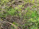 蕨(わらび) 山菜