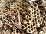 蜂 料理 蜂の子