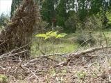 珍種 マムシグサ 画像