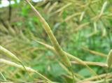 菜の花 部分 小さい 種 部分 似合う 結構 大きさ イメージ 想像 感じ