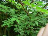 山椒(さんしょう) 写真 とげ 柚子(ゆず) 山菜 画像