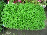 胡椒の画像です。元気に育っています。