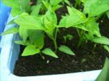 柚子(ゆず)胡椒はこしょうが作られるところから始まります