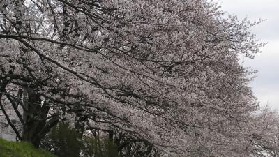 入間川の桜2