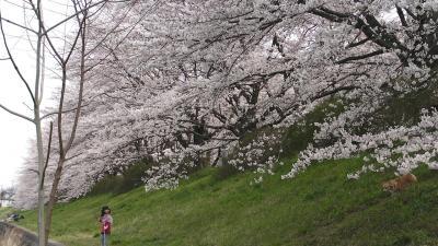 入間川の桜3