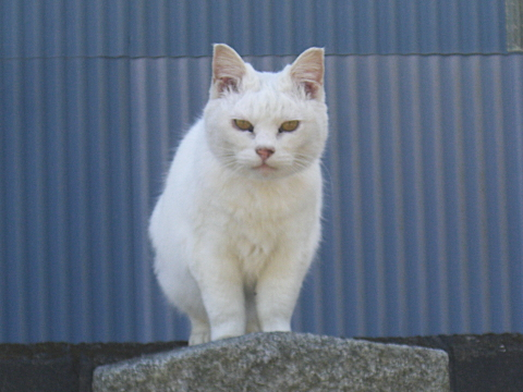 塀の上の白猫