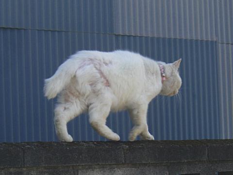 塀の上の白猫③
