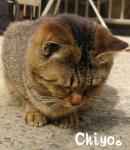 Chiyo。