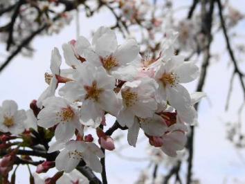 09'3月24日サクラ咲いてました