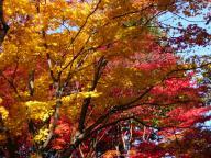 2008年東山植物園の紅葉#1