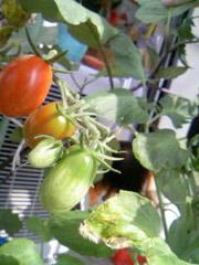 家庭菜園と娘の成長