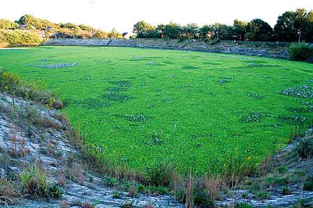 ウォーターレタス雨池