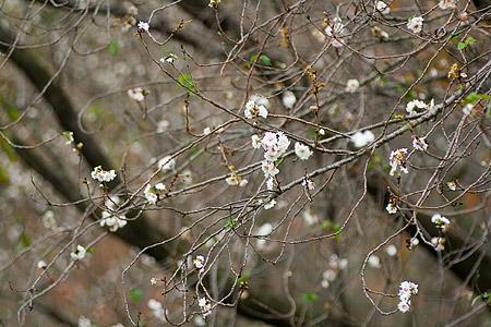 東山植物園の子福桜