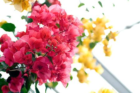 ブーゲンビリアのピンクと黄色