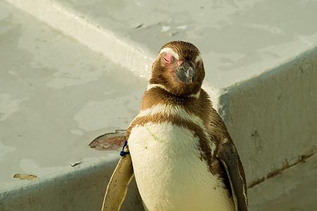 マリンランドのペンギン-1