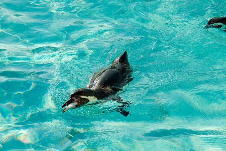 マリンランドのペンギン-7