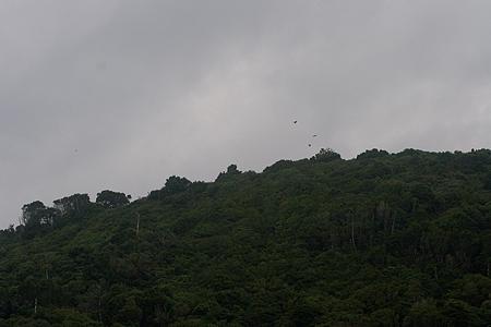 伊良湖のタカ渡り-2