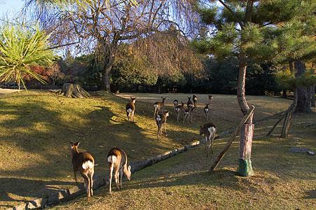 奈良の鹿コレクション-10