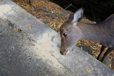 奈良の鹿コレクション-6
