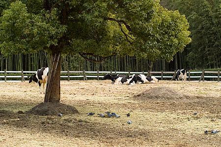 農業センターの牛さんたち