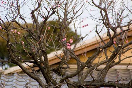 目白庭園の梅