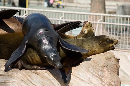 東山動物園の乗り上げアシカ