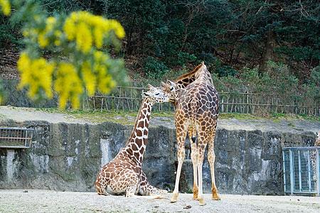 東山動物園のキリンたち