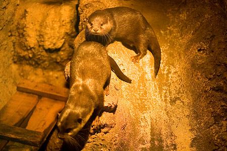 自然動物館コツメカワウソ