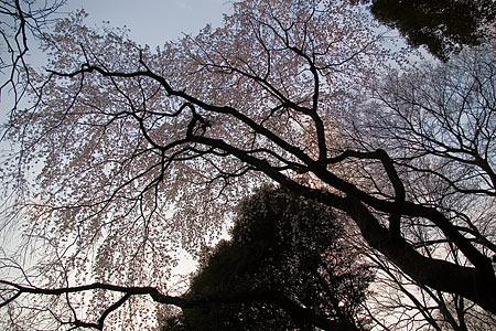 六義園のしだれ桜その1