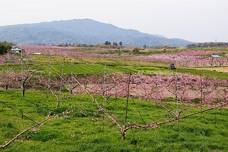 猿投の桃畑-1