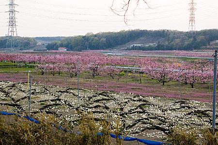 猿投の桃畑-2