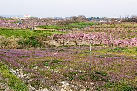 猿投の桃畑-3