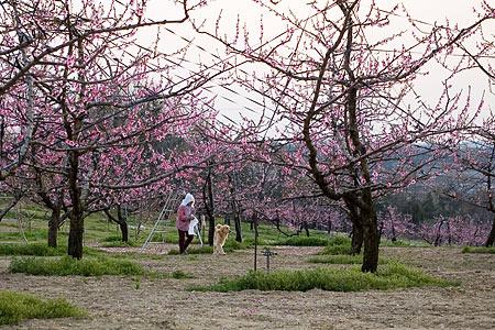 猿投の桃畑-4