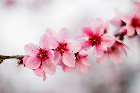 猿投の桃畑-5